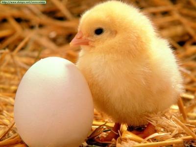 20160510171221-pollito-avicola-canelones.jpg